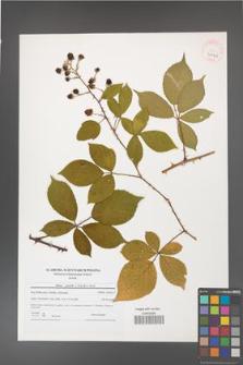 Rubus gracilis [KOR 40746]