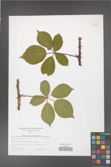 Rubus gracilis [KOR 43992]