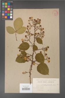 Rubus gracilis [KOR 484]