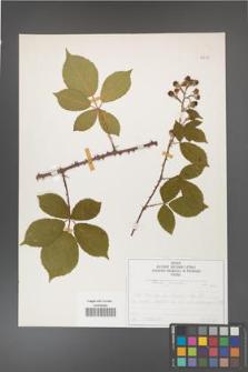 Rubus gracilis [KOR 50733]