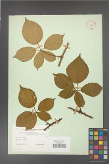 Rubus gracilis [KOR 11114]