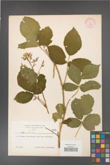Rubus gracilis [KOR 5818]