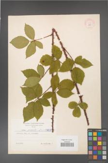 Rubus gracilis [KOR 5839]