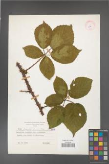 Rubus gracilis [KOR 6816]