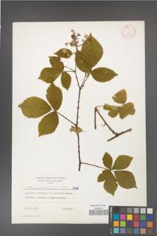 Rubus gracilis [KOR 6436]