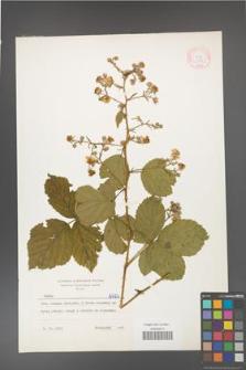Rubus gracilis [KOR 6424]