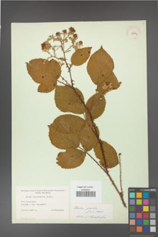 Rubus gracilis [KOR 11140a]