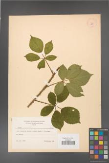 Rubus gracilis [KOR 8662]