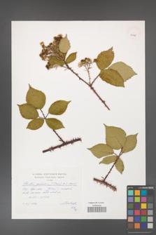 Rubus gracilis [KOR 40145]