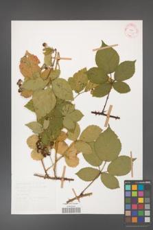 Rubus gracilis [KOR 30855]
