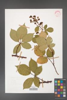 Rubus gracilis [KOR 30853]