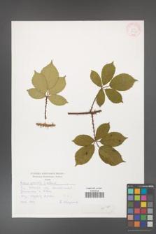 Rubus gracilis [KOR 30470]