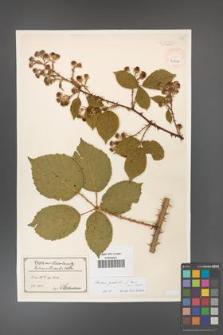 Rubus gracilis [KOR 40506]