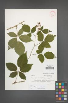 Rubus [KOR 32206]