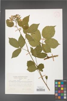 Rubus gratus [KOR 27987]