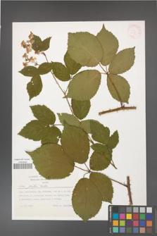 Rubus gratus [KOR 30836]