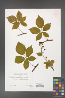 Rubus graecensis [KOR 39938]