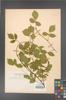 Rubus guentheri [KOR 23530]