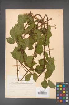 Rubus guentheri [KOR 23463]