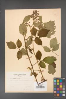 Rubus guentheri [KOR 23499]