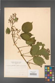 Rubus guentheri [KOR 23510]