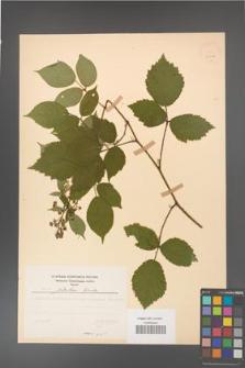 Rubus guentheri [KOR 23508]