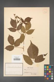 Rubus güntheri [guentheri] [KOR 18469a]