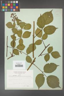 Rubus guentheri [KOR 23511]
