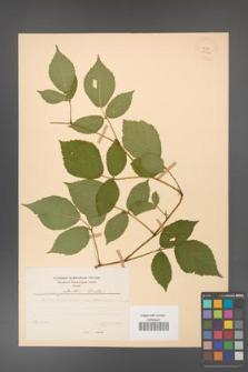 Rubus guentheri [KOR 23524]
