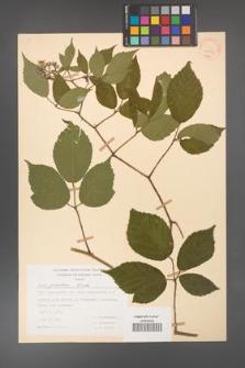 Rubus guentheri [KOR 30832]