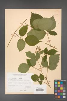 Rubus guentheri [KOR 23476]