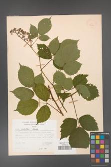 Rubus guentheri [KOR 23493]