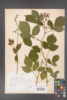 Rubus guentheri [KOR 23464]