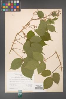 Rubus guentheri [KOR 23503]