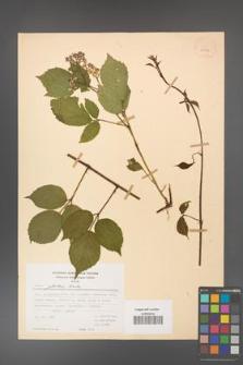 Rubus guentheri [KOR 23497]