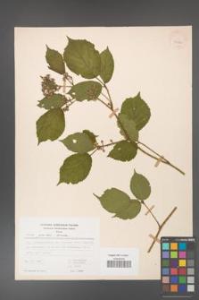 Rubus guentheri [KOR 23472]