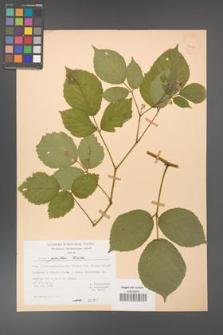 Rubus guentheri [KOR 23481]
