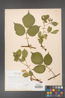 Rubus guentheri [KOR 23484]