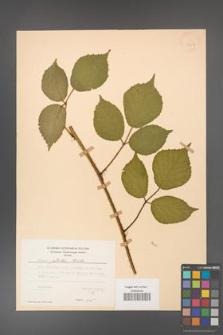Rubus guentheri [KOR 23507]