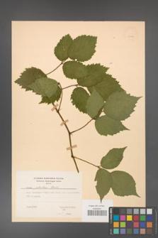 Rubus guentheri [KOR 23471]