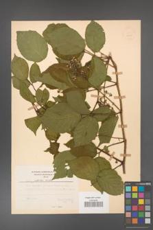 Rubus guentheri [KOR 23513]