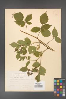 Rubus guentheri [KOR 23460]