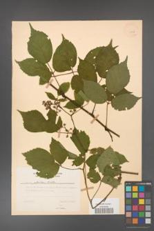 Rubus guentheri [KOR 23515]