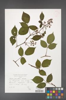 Rubus guentheri [KOR 38282]
