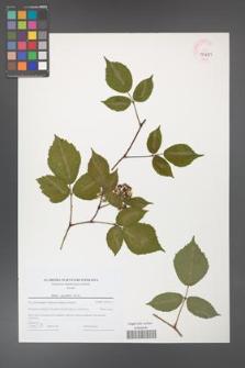 Rubus guentheri [KOR 44691]