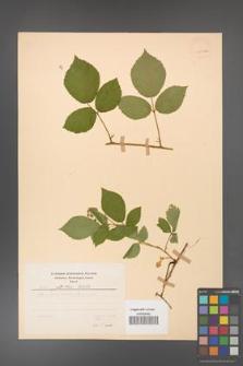 Rubus guentheri [KOR 23528a]