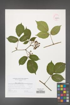 Rubus guentheri [KOR 44679a]