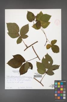 Rubus guentheri [KOR 51983]