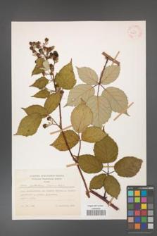 Rubus guttiferus [KOR 52650]