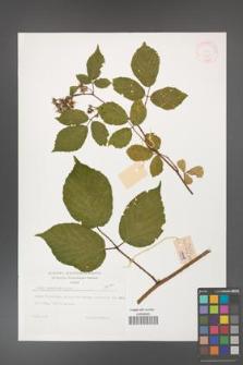Rubus guentheri [KOR 32269]